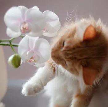 Orquídies plantes inofensives per a gats