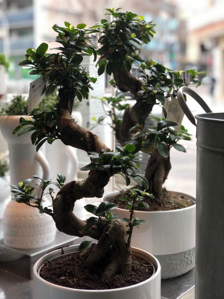 Un Ficus Ginseng