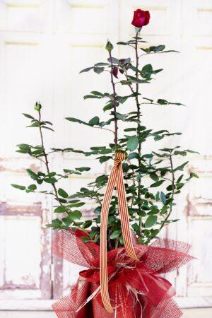Roser de Sant Jordi. A VENTURA Floristes trobaràs les roses més fresques i de qualitat.