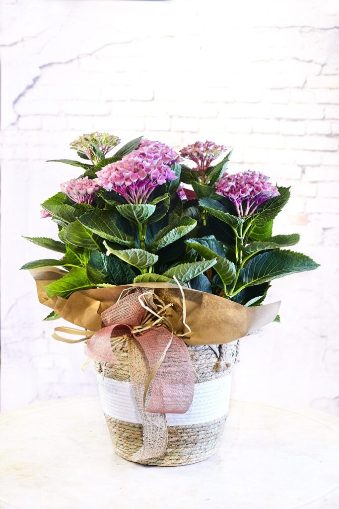 Cistella de vímet bicolor amb una hortènsia rosa. Compra les millors flors a la nostra botiga en línia. Amb eviament a domicili.