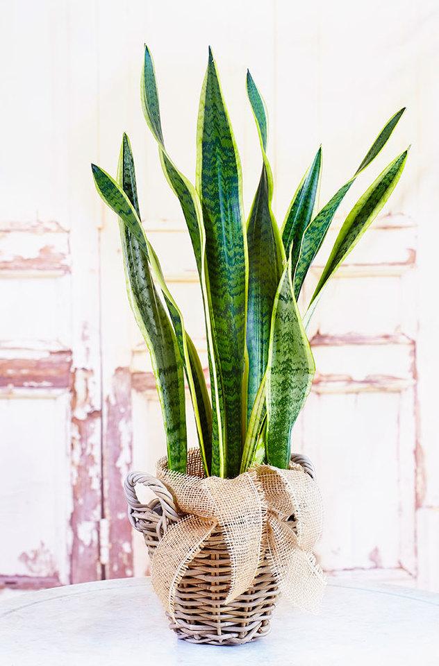 Sansevieria en test de terracota. Compra les millors plantes verticals a la nostra botiga en línia. Amb eviament a domicili.